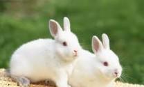 Hậu Giang: Thỏ giống, thỏ thịt đều tăng giá
