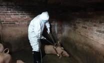 Cả nước tiêu hủy hơn 3,7 triệu con lợn vì dịch tả châu Phi