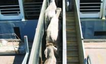 Úc đang hành động quyết liệt để xử lý vi phạm trong xuất khẩu gia súc sống từ Úc sang Việt Nam