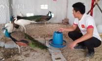 Về quê lập trại nuôi chim công quý hiếm, bán giá cao cho nhà giàu
