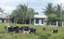 Ninh Thuận: Giá dê, cừu tăng mạnh