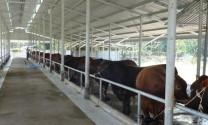 Diễn đàn phát triển chăn nuôi giống bò thịt sẽ diễn ra tại Thành phố Hồ Chí Minh