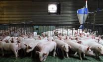 Trên 542.000 con lợn được nhập về tiêu thụ tại Hà Nội