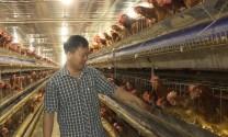 Lãi lớn nhờ liên kết nuôi gà đẻ trứng
