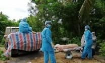 Hậu Giang: Tiêu hủy trên 13.000 con heo nhiễm dịch tả châu Phi