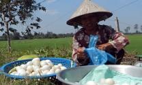 Hậu Giang: Giá trứng vịt tiếp tục giảm