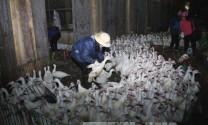 11 tỉnh, thành phố có ổ dịch cúm gia cầm