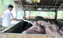 Bến Tre: Hộ chăn nuôi heo gặp khó vì giá xuống thấp