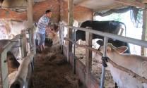 Phú Yên: Chống đói cho trâu, bò mùa nắng nóng