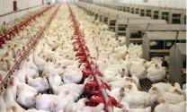 Gà tăng trưởng chậm: Giải pháp kết hợp giữa chăn nuôi và trồng trọt hữu cơ