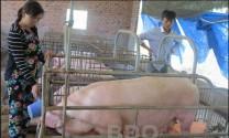 Bình Định: Giá heo giảm sâu, người chăn nuôi lao đao