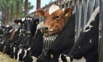 1.600 con trâu bò Úc mất tích: Kiểm tra chuỗi cung ứng