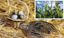 """Bắc Mỹ: """"Làm giàu"""" trứng chim cút từ nhân sâm"""