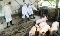 Hướng dẫn bổ sung một số biện pháp phòng, chống bệnh dịch tả lợn châu Phi