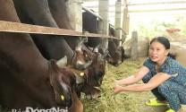 Nuôi bò vỗ béo từ phế phẩm nông nghiệp