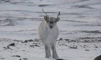 200 con tuần lộc chết đói trên quần đảo Bắc Cực do biến đổi khí hậu