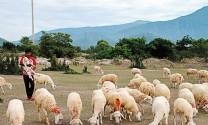 Ninh Thuận: Phát triển nuôi cừu theo hướng nâng cao chất lượng đàn, gắn với quy hoạch vùng trồng cỏ