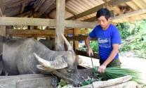 Tuyên Quang: Người Mông Nà Cào nuôi trâu, bò vỗ béo