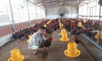 Từ bỏ bục giảng, thạc sĩ về quê nuôi gà