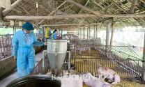 Đồng Nai: Cần 359 tỷ đồng hỗ trợ heo bị tiêu hủy vì dịch tả heo châu Phi