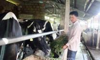 Hưng Yên: Nuôi bò sữa - rủi ro ít, hiệu quả cao