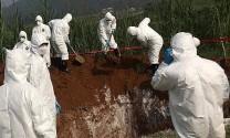 Hà Nội: Tiêu hủy 498.573 con lợn mắc bệnh dịch tả lợn châu Phi