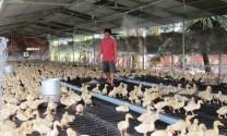 Mô hình mới nuôi vịt trên sàn lưới