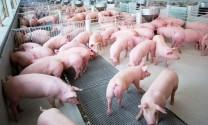 Chăn nuôi an toàn sinh học, phòng dịch tả lợn châu Phi
