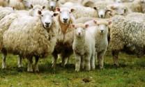 Giảm chi phí thức ăn cho cừu từ đậu nành thô