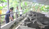 Tuyên Quang: Tổng đàn trâu của tỉnh xếp thứ 8 toàn quốc