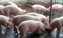 Đàn heo toàn tỉnh Khánh Hòa còn hơn 173.000 con