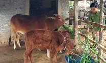 Mô hình hỗ trợ bò sinh sản cho hộ nghèo: Ý nghĩa lớn, hiệu quả cao