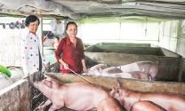 Cần Thơ: Hỗ trợ hộ chăn nuôi, tập trung dập bệnh dịch tả heo châu Phi