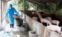 Hà Nội: 26,9% tổng đàn lợn của thành phố bị tiêu hủy do bệnh Dịch tả lợn châu Phi