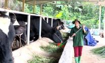 Tuyên Quang: Phát triển chăn nuôi đại gia súc: Đường lớn đã mở!