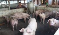 Tây Ninh: Hộ chăn nuôi nhỏ lẻ khó thực hiện đúng quy định về bảo vệ môi trường