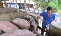 Bà Rịa - Vũng Tàu: Giá heo hơi tăng mạnh