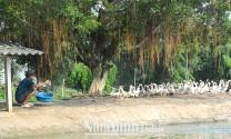 Nam Định: Phát triển chăn nuôi gia cầm, thủy cầm kịp thời đáp ứng nhu cầu thực phẩm