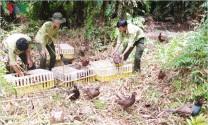 Hậu Giang thả gần 60 con chim trĩ đỏ về rừng