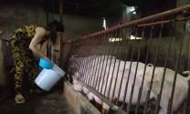 Nghiên cứu thêm trường hợp âm tính dịch tả lợn châu Phi nhờ ăn hèm rượu