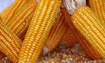 Châu Âu cấp phép các sản phẩm nông nghiệp biến đổi gen