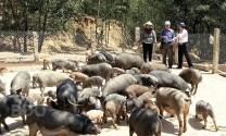 Bình Định: Lối đi mới từ mô hình nuôi heo đen
