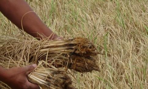 Phú Yên: Nông dân tận thu lúa khô héo làm thức ăn cho bò