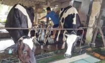 Chăn nuôi bò sữa: Phát huy lợi thế, đẩy mạnh xuất khẩu
