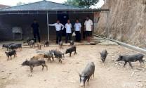 Nghệ An: Hỗ trợ đồng bào lưu giữ, phát triển Gen lợn đen đặc sản