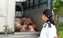 Giá lợn hơi tiếp tục tăng, người chăn nuôi Hà Tĩnh tranh thủ xuất chuồng