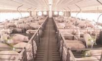 Trung Quốc vẫn đang đứng vững trong khủng hoảng thiếu thịt lợn