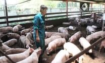 Hưng Yên: Không tái đàn lợn trong thời điểm dịch bệnh