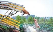 Trung Quốc: Di truyền - tương lai của ngành heo