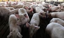 """Giá heo hơi hôm nay 28/8: Miền Bắc tăng nhanh, giá lợn sẽ """"nóng"""" từ tháng 9?"""